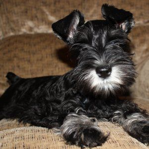 Available Pups Daniels Mini Schnauzers Mini Schnauzer Schnauzer Pup