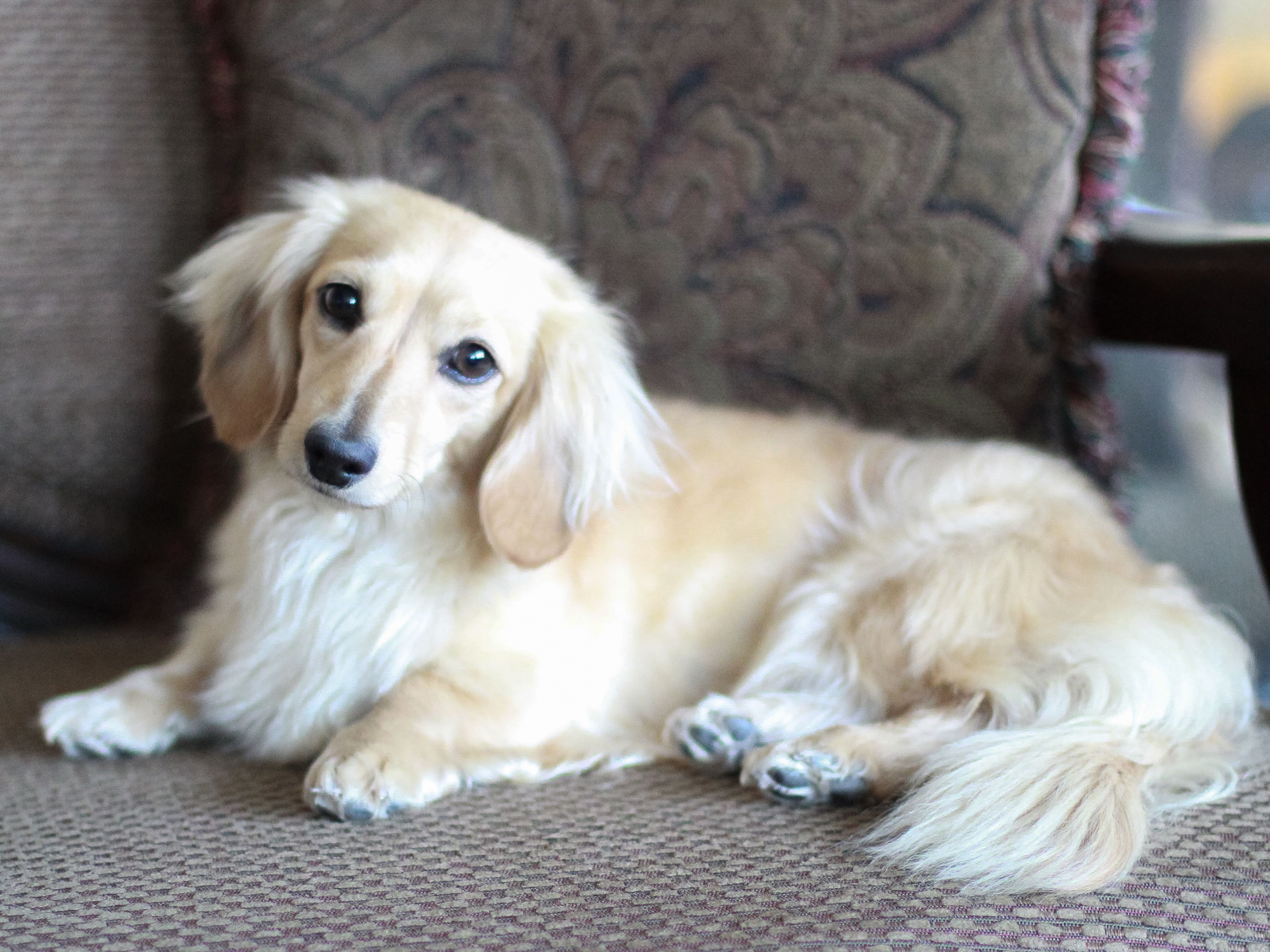 Crown Dachshunds Blonde Long Hair Dachshund Blue Eyes Hull East Riding It S The Most Won In 2020 Long Haired Dachshund Dachshund Pictures Dachshund Puppy Long Haired