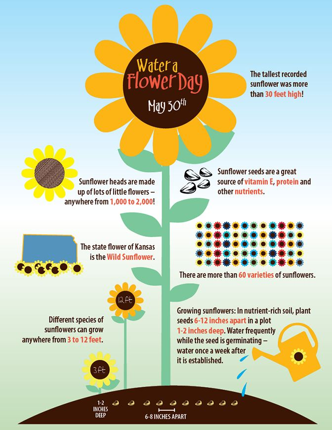Water A Flower Day Fun Facts About The Sunflower Sunflower Facts Growing Sunflowers Sunflower