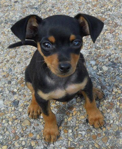 Ds 222 Miniature Pinscher Puppy My Dog Show Chiweenie