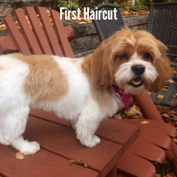 First Haircut Lola The Schweenie Shih Tzu Schweenie Shih Tzu