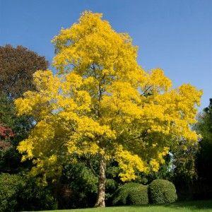 Golden Robinia Pseudoacacia Frisia Drzewa