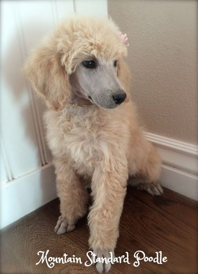 Pin by julie hogan on animals pinterest poodle and animal poodle hairstyles poodle haircut dog haircuts poodle cuts poodle puppies standard poodles dog grooming animal pics dog stuff winobraniefo Image collections