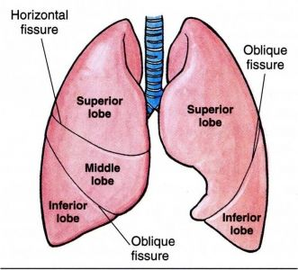 Anatomy of the lungs lobes