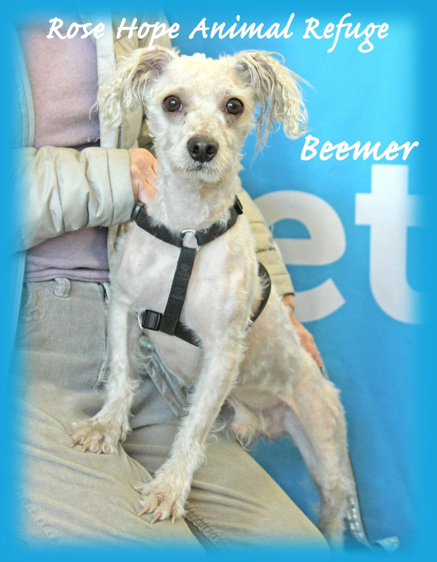 Poochon dog for Adoption in WATERBURY, CT. ADN469362 on