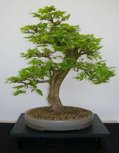 Rp Fagus Slvatica European Beech Bonsai Baum Baume Pflanzen