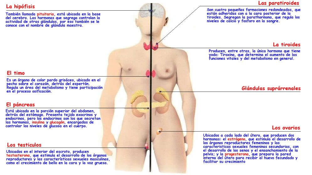 Excelente órganos Del Sistema Endocrino Y Sus Funciones Festooning ...