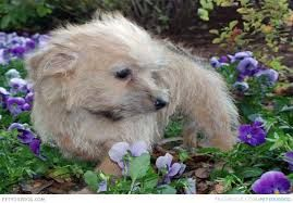 Image Result For Cairmal Cute Animals Animals Cairn Terrier
