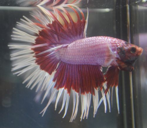 Pink Betta Fish | Imported Live Betta Fish Pink Red And White Butterfly Doubleray