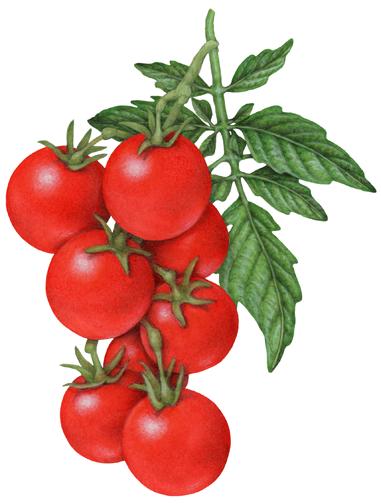 Botanical illustration of a strand of eight cherry ...