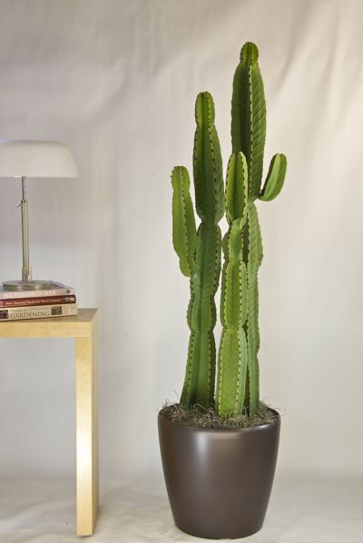 Cactus Candelabra from Houston Interior Plants Plants that make