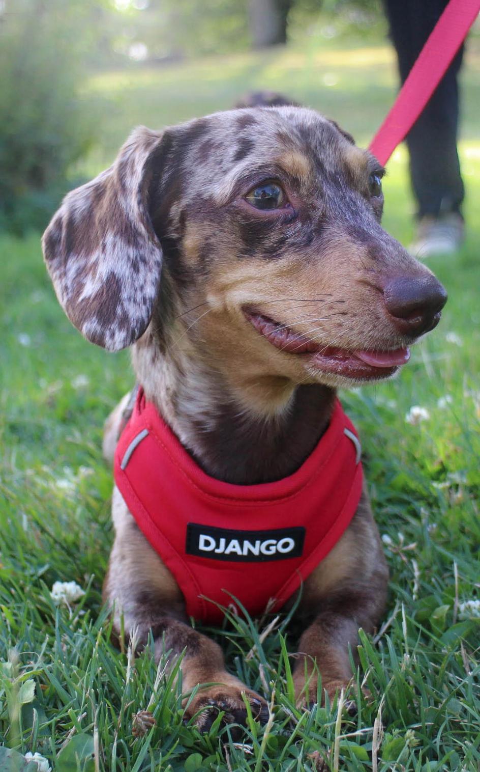 Pin On Django Adventure Dog Harness And Leash Collection