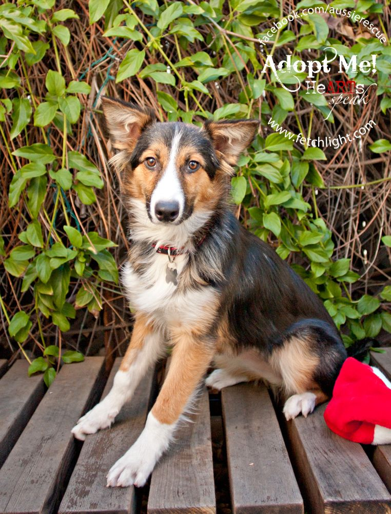 Teagan is available to adopt from Aussie Rescue San Diego