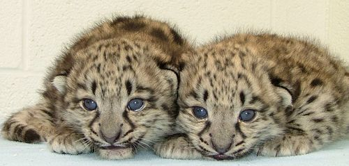A Pair of Baby Snow Leopards!