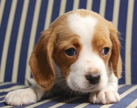 Beaglier Breeder Beaglier Puppies Sydney Nsw Australia Beagle X Cavalier Beagle Puppy Beaglier Puppies For Sale Best Dog Breeds