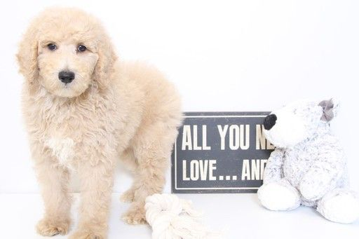 Poodle Standard Puppy For Sale In Naples Fl Adn 35435 On