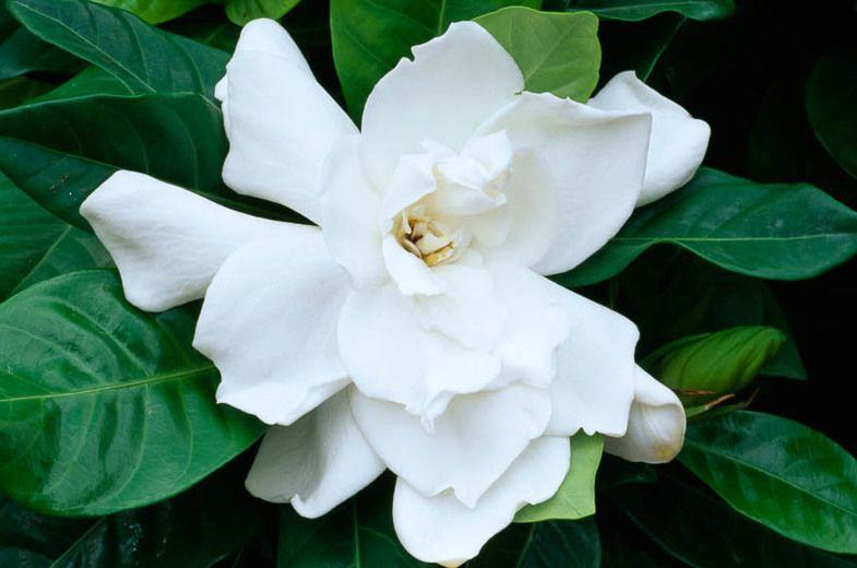 Gardenia jasminoides fortuniana cape jasmine fortuniana gardenia jasminoides fortuniana cape jasmine fortuniana fortuniana cape jasmine cape jessamine mightylinksfo