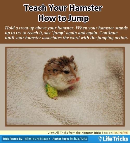 Hamster Tricks Teach Your Hamster How To Jump Hamster Muizen Kooi