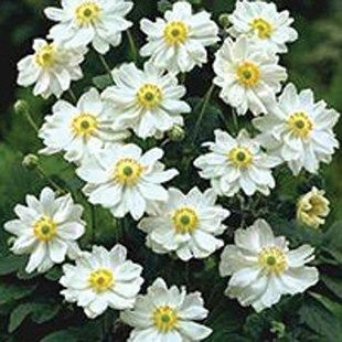 Japanese anemone Whirlwind garden Pinterest Plants