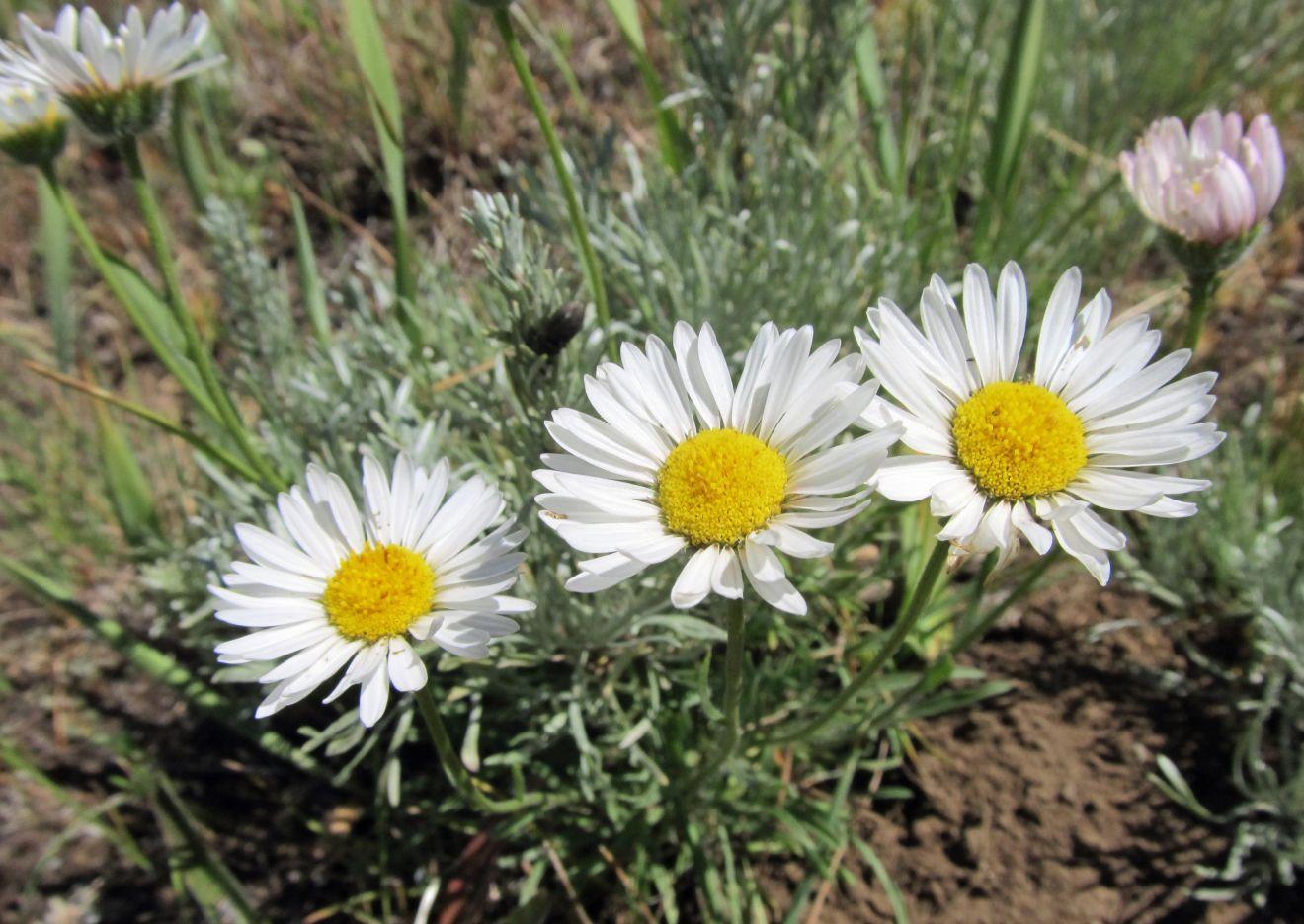 Erigeron davisii, Davis' Fleabane ID. native plant