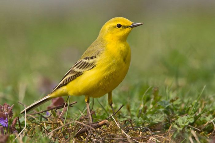 yellow wagtail british birds yellow wagtail grey. Black Bedroom Furniture Sets. Home Design Ideas