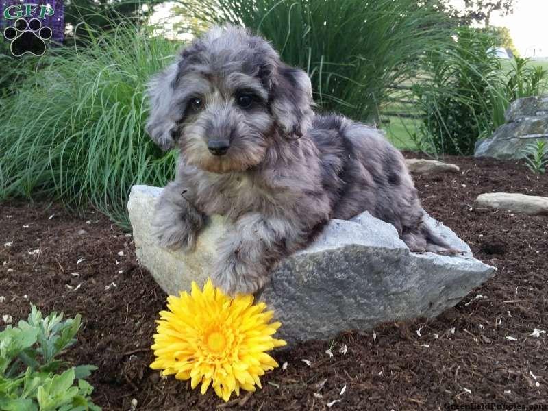 Heidi Dachshund Mix Puppy For Sale In Pennsylvania Dachshund
