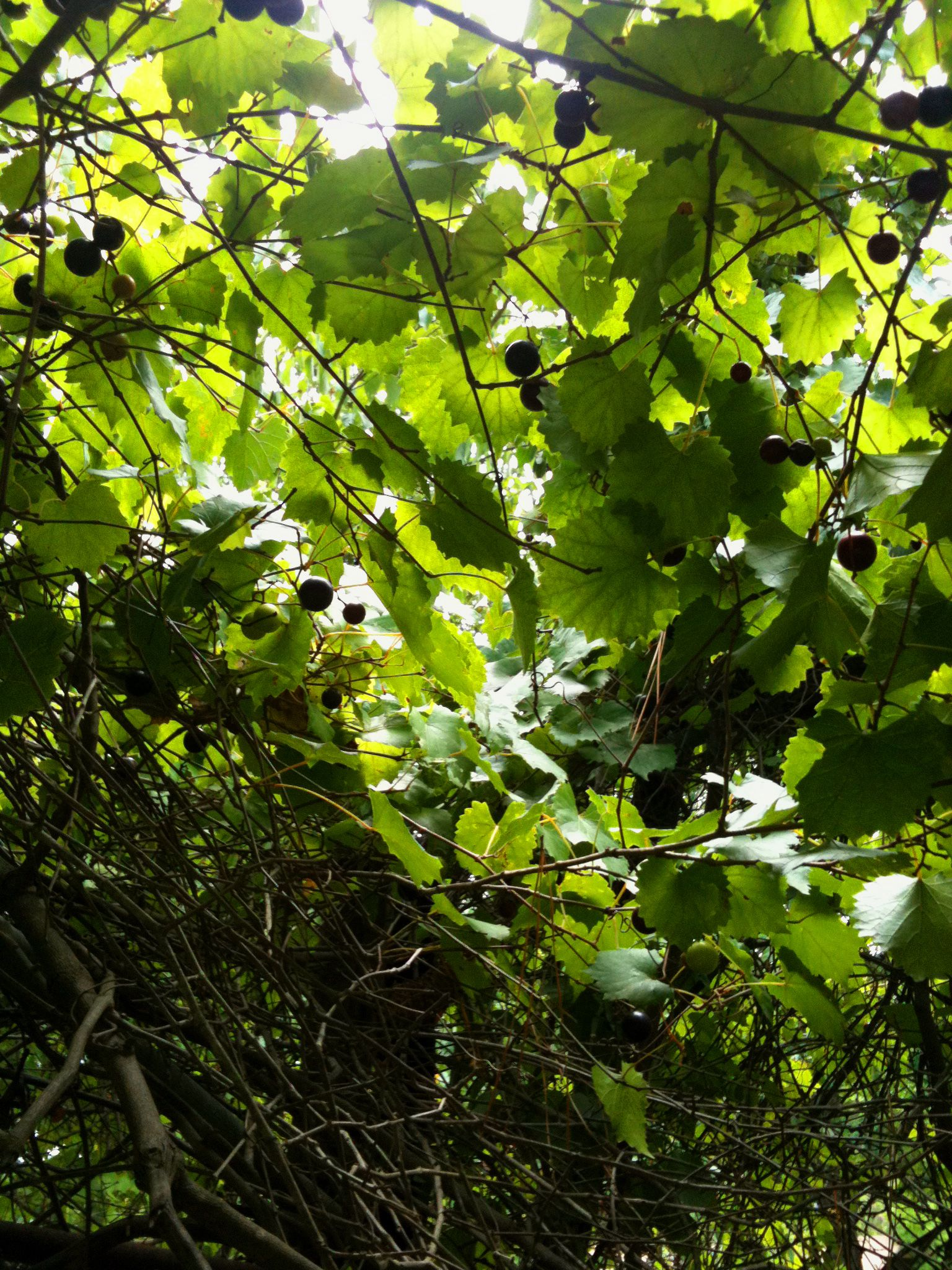 Muscadine Vine Muscadine Vine Louisiana Homes Garden