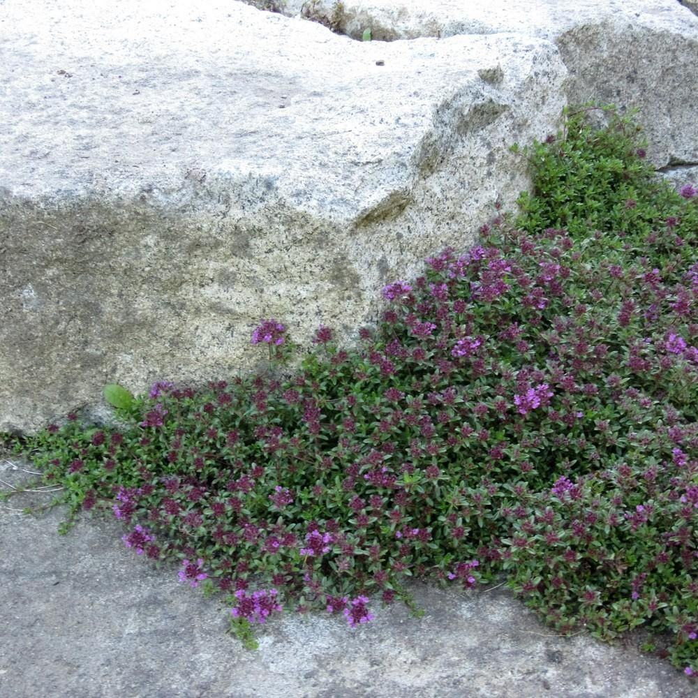 Photo of red creeping thyme thymus praecox ucoccineus group