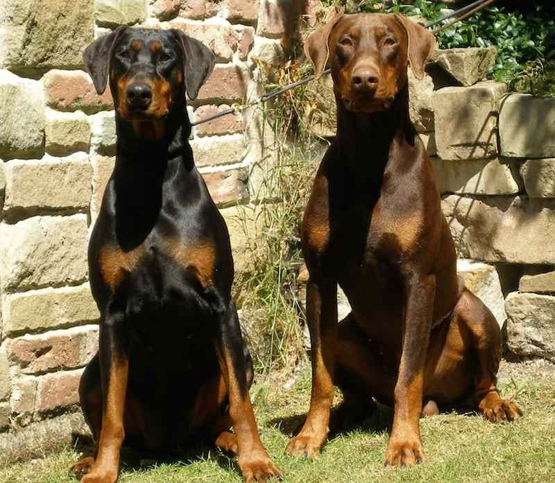Doberman Pinscher Dog Breed Information Doberman Pinscher Dog