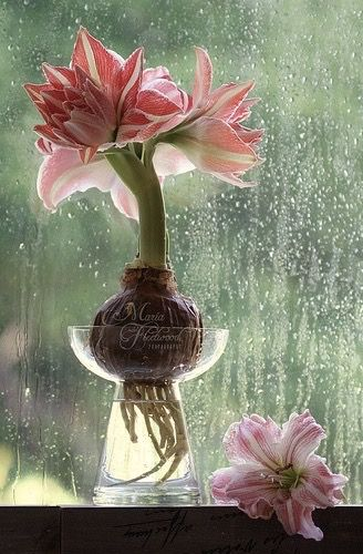 Pin By Victoria Wagner On Green And Pink A Lovely Combination Amaryllis Amaryllis Flowers Amaryllis Bulbs
