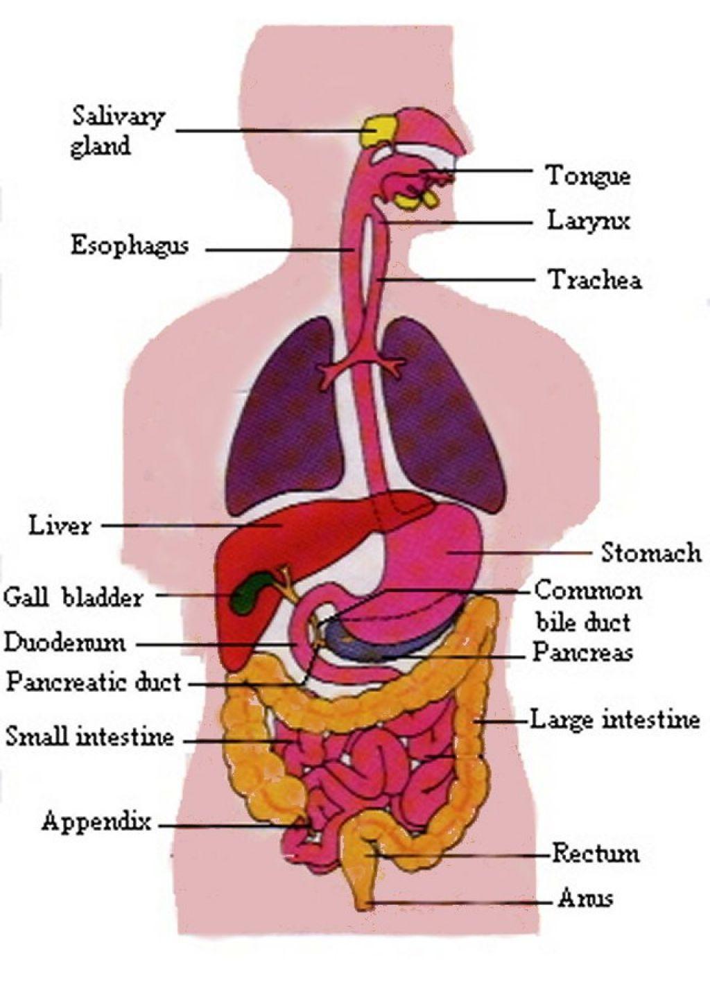 simple human anatomy diagram simple human anatomy diagram simple human digestive system sketch simple human [ 1024 x 1425 Pixel ]