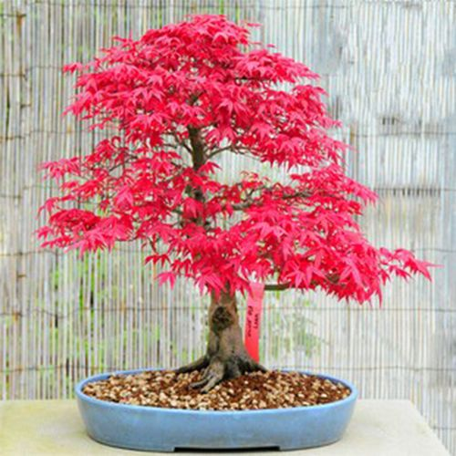 Details About 10 Red Japanese Maple Seeds Acer Palmatum