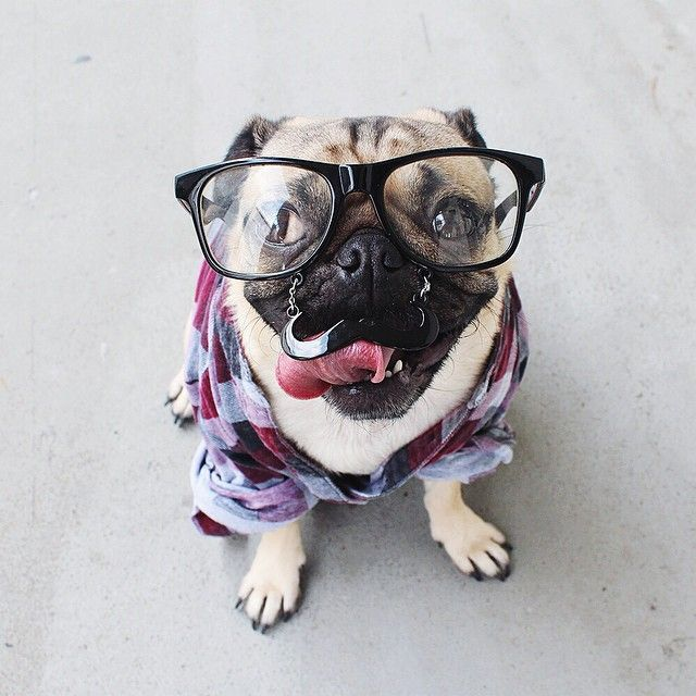 Doug the Pug Isn't Sure If He's a Pup or Person.