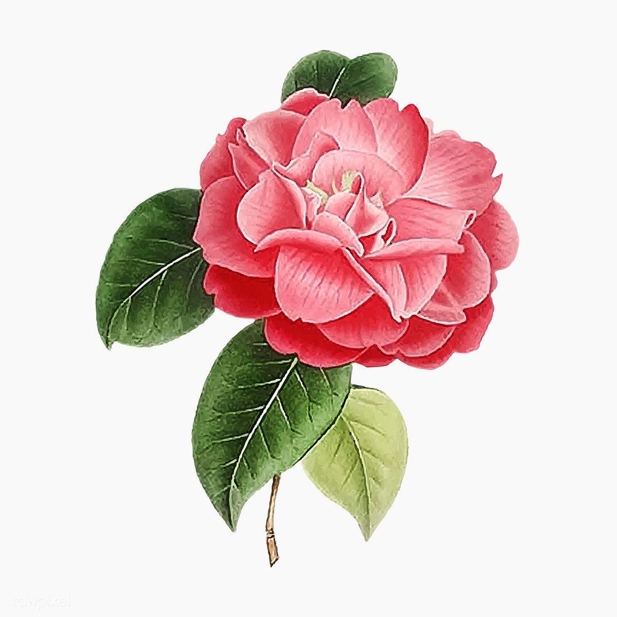 Download Premium Vector Of Pink Camellia Rose Flower Vector 2090052 In 2020 Rose Flower Flower Illustration Camellia Flower