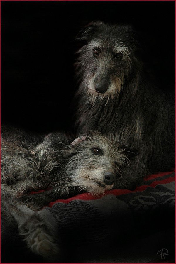 Like Sisters My 2 Scottish Deerhounds Photo Mlr Wolf Hunde