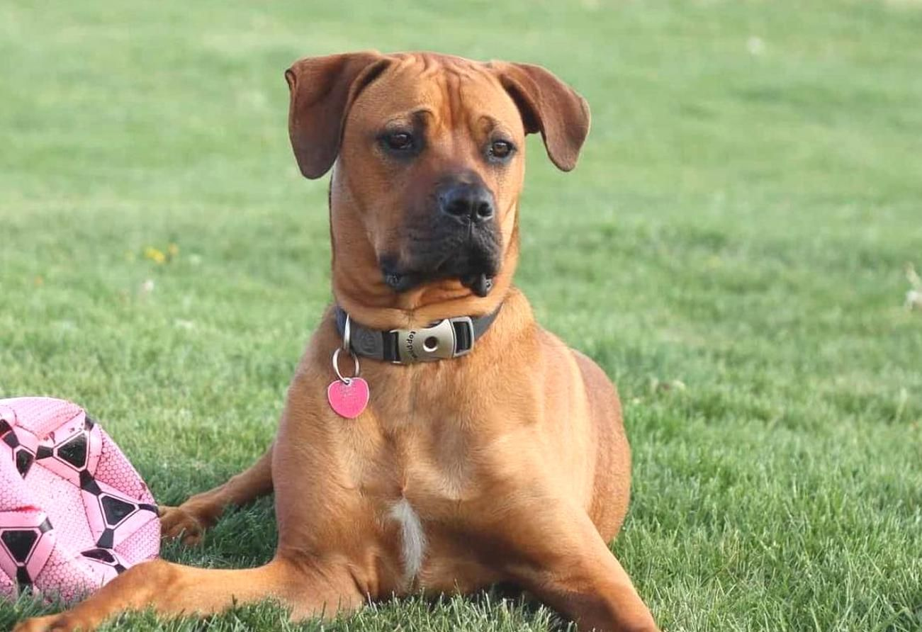 15 Boxer Mixes Loyal Playful Partners Boxer Mixed Breeds In 2020 Boxer Mix Mixed Breed Staffordshire Bull Terrier Funny