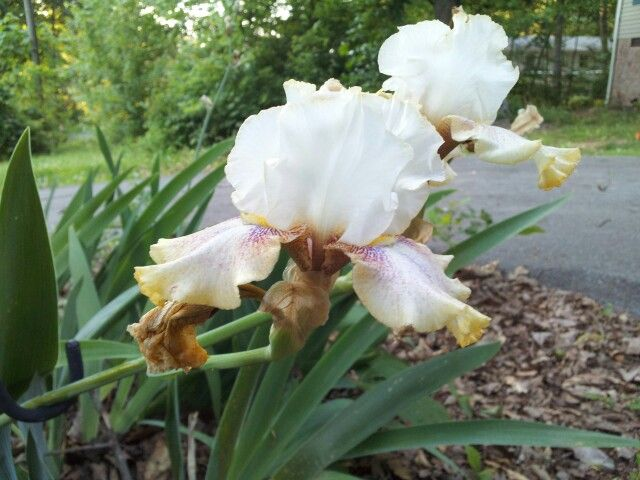 I have a new Iris in my yard!