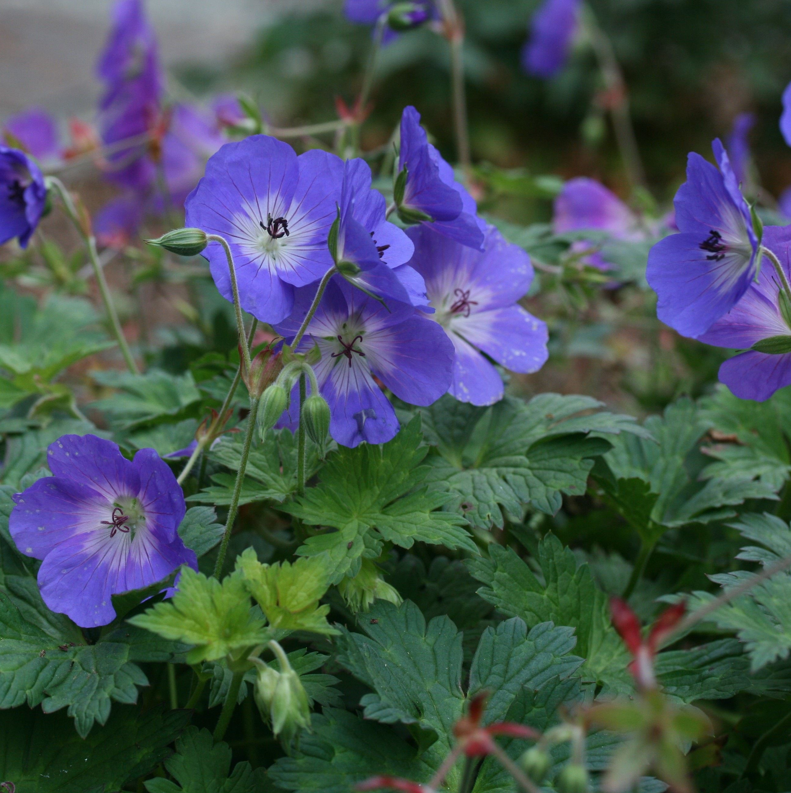 How To Prune Your Hardy Geranium Or Cranesbill Or Ode To Rozanne