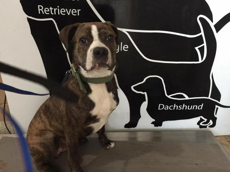 Adopt Crimson On Boxer Terrier Mix Terrier Mix Dogs Adoption