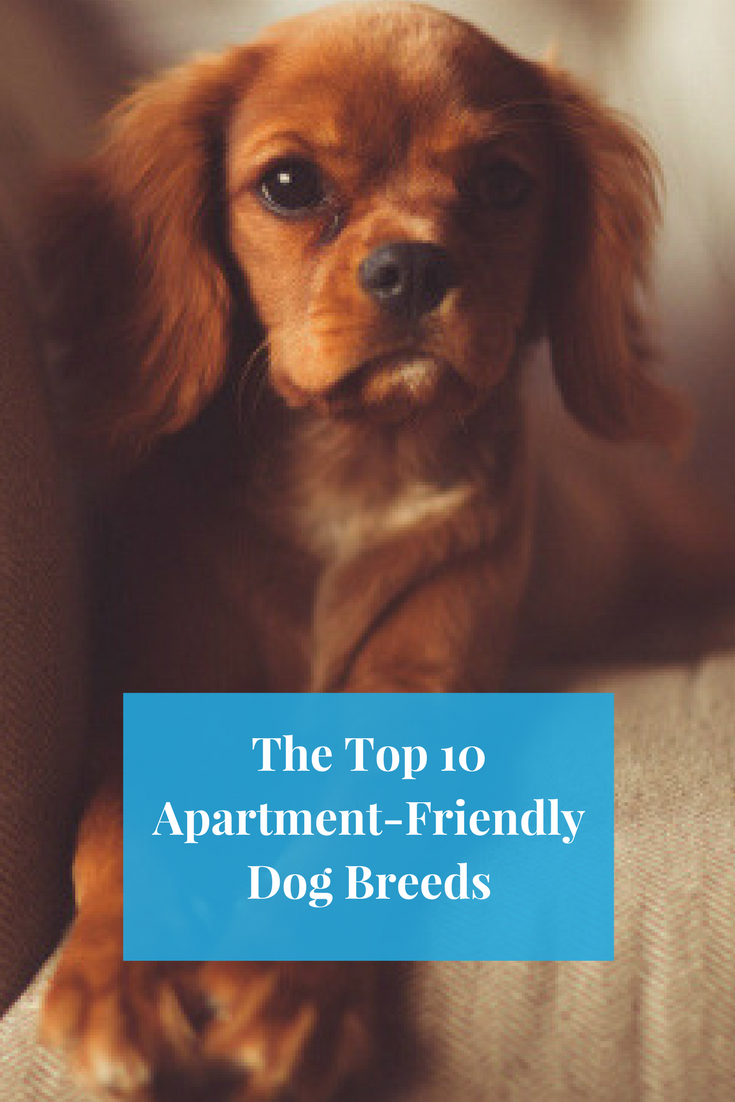 The Top 10 Apartment Friendly Dog Breeds Dog Friends Friendly Dog Breeds Dog Breeds