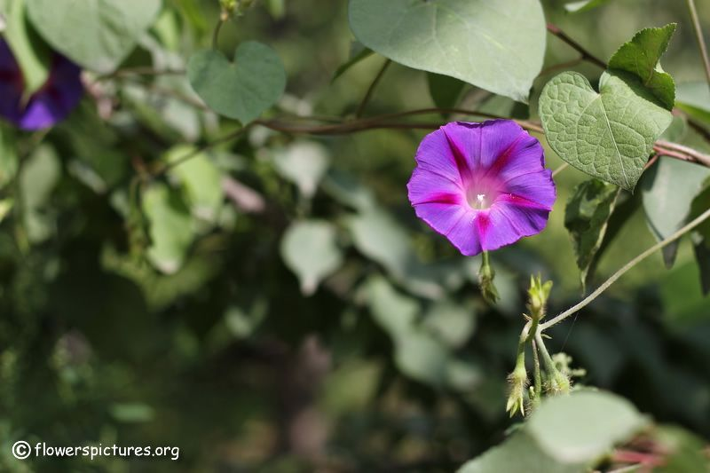 We Absolutely Love Morning Glories But If They Tend To Reseed A Bit Too Much For Your Taste Try This On Morning Glory Vine Morning Glory Flowers Garden Vines