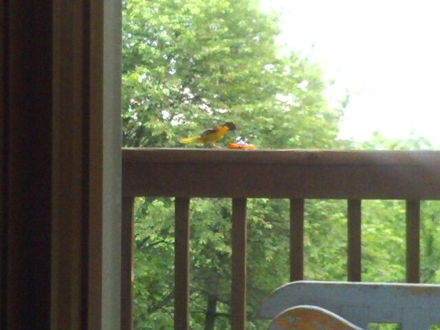 We have a pair of Oriole that love the grape jelly on our back deck.