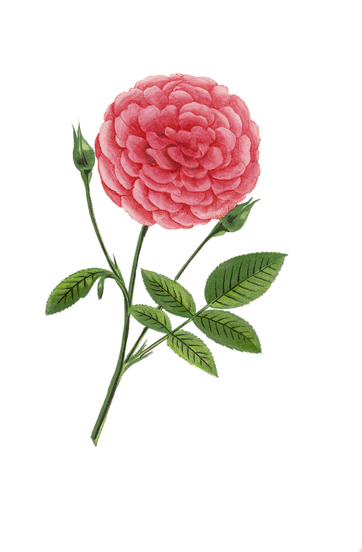 Explore Vintage Flower Prints Rose And More