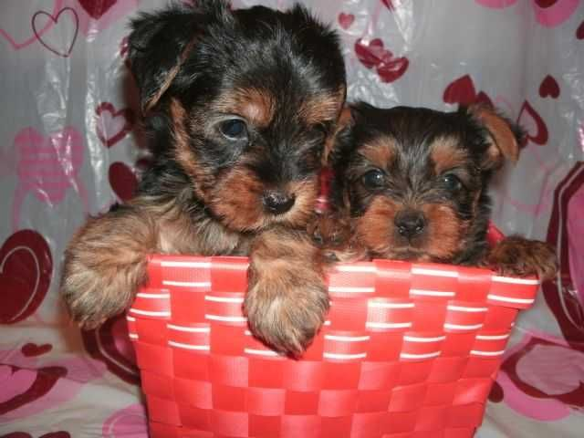 We have a cute Male and Female Teacup Yorkie puppies for