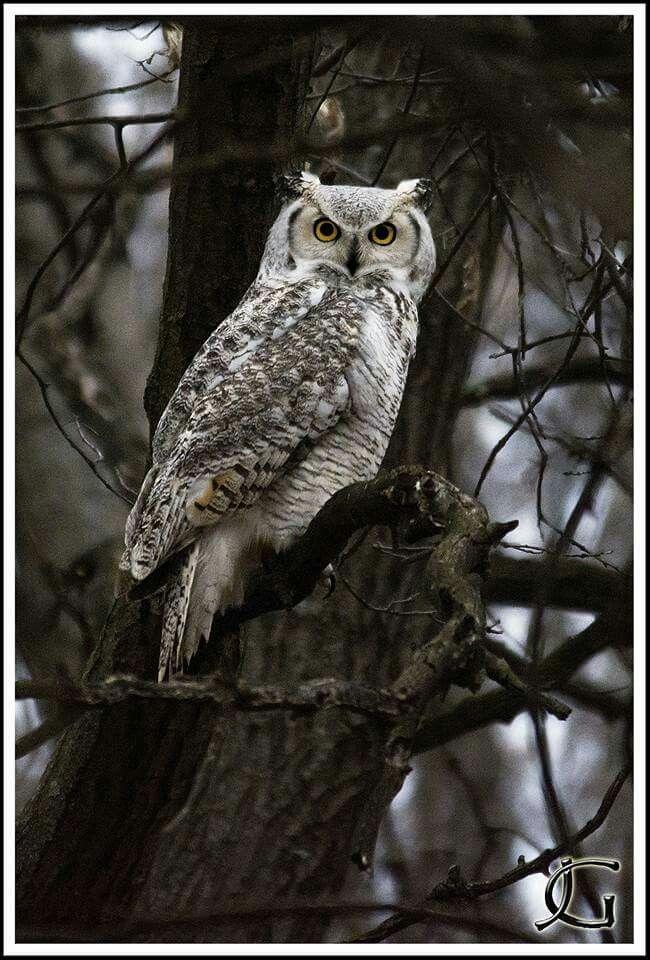 Subarctic Great Horned Owl in Minnesota