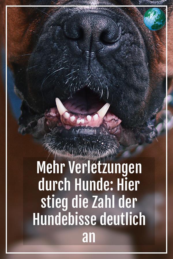 Halle Zahl Der Registrierten Hundebisse Gestiegen Hunde Pitbull Terrier American Staffordshire Terrier