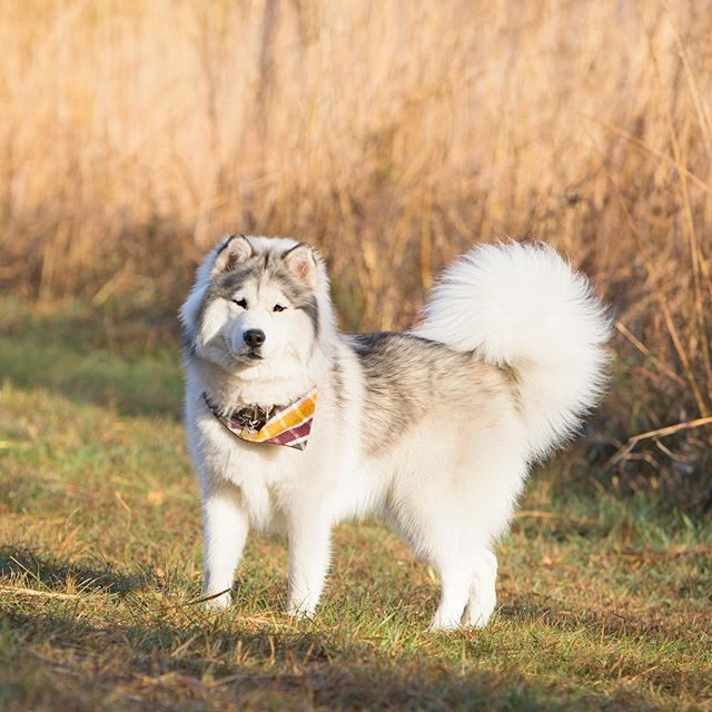 Can That Tail Get Any Fluffier Huskies On Instagram Cute Dogs