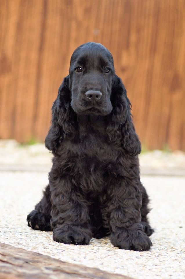 Pin By Judith Giattino On Dog Cutest Small Dog Breeds Dogs Cocker Spaniel Puppies