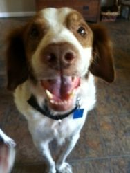 MI Hudson is an adoptable Brittany Spaniel Dog in