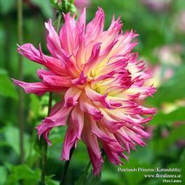 Pinelands Princess - Katusdahlia